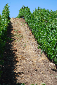 Steep Wine Grape Vines in Le Clos Secret Vineyard, Happy Canyon of Santa Barbara, CA